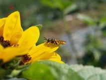 Wespe auf Sonnenblume Lizenzfreie Stockfotografie