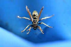Wespe auf Wasser mit blauem Hintergrund lizenzfreies stockbild