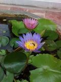 Wespe auf a waterlily Stockfotos