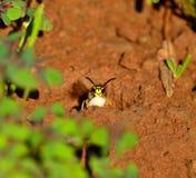 Wespe aus dem Nest mit Larve in seinen Kiefern heraus Lizenzfreie Stockbilder