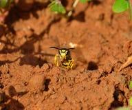 Wespe aus dem Nest mit Masse des Lehms in seinen Kiefern heraus Stockfotos