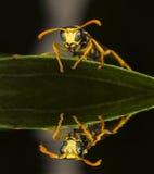 Wespe, die auf den Blättern und der Reflexion stillsteht Lizenzfreies Stockbild