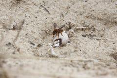 Wespe, die auf eine Schnecke einzieht lizenzfreies stockbild