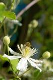 Wespe, die auf einer Blume sitzt Stockbild
