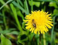 Wespe, die auf einer Löwenzahnblume sitzt Stockbilder