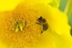 Wespe, die Blütenstaub auf einer gelben Blume sammelt Lizenzfreie Stockbilder