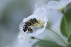 Wespe, die Blütenstaub auf einer weißen Blume sammelt Lizenzfreie Stockfotografie