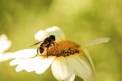 Wespe, die Blütenstaub nimmt Lizenzfreie Stockfotos