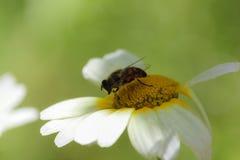 Wespe, die Blütenstaub nimmt Stockfotos