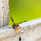 Wespe, die Material für Bienenstock erfasst lizenzfreies stockbild