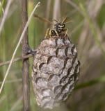 Wespe, die sein Nest, Kämme schützt, stockfoto