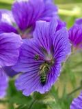Wespe in einer Blume Stockfoto