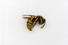 Wespe gefangen genommen Stockbild