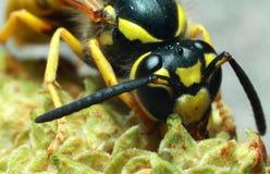 Wespe Insekt Stockfotografie