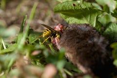 Wespe isst tote Maus Lizenzfreie Stockbilder