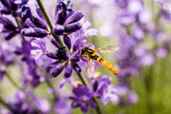 Wespe (Meliscaeva-cinctella) auf Lavendel Lizenzfreie Stockfotos
