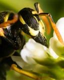 Wespe mit dem Auszug-Blütenstaub der blauen Augen von der Blume lizenzfreies stockfoto