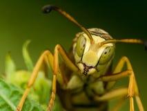 Wespe mit Grün beschmutzten Augen auf grünen Blättern lizenzfreie stockbilder