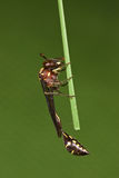 Wespe mit grünem Hintergrund Lizenzfreie Stockfotografie