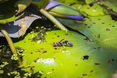 Wespe (Polistes dominula) auf dem Lotus-Blatt Stockbild
