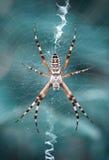 Wespe-Spinne im Web Stockfotografie