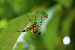 Wespe sticht, die schönen Wespen unter den grünen Blättern Stockbilder