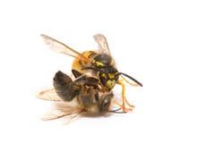 Wespe und Biene Stockbilder