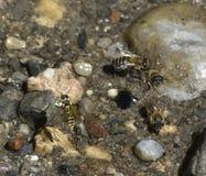 Wespe und Bienen, die an Wasser im Fluss nippen lizenzfreie stockfotografie