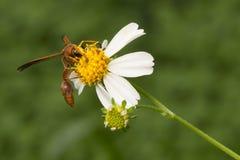 Wespe und Blume Stockfoto