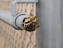 Wespe und Nest Stockbild