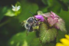 Wespe und purpurrote Blume Lizenzfreie Stockbilder