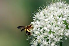 Wespe-und Zwiebelen-Blume Lizenzfreie Stockbilder