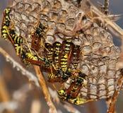 Wespen binnen zijn nest Stock Afbeeldingen