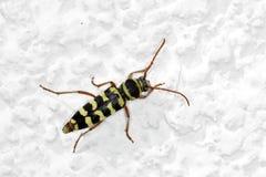 Wespen Bock auf einer weißen Wand lizenzfreies stockfoto