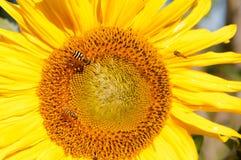 Wespen in der Sonnenblume Lizenzfreies Stockfoto