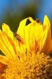 Wespen in der Sonnenblume Stockbild