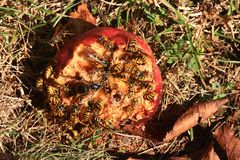 Wespen die appelfruit verbruiken Stock Foto's