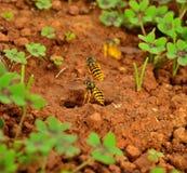 Wespen die bij het gat van de nestingang vliegen Royalty-vrije Stock Foto's