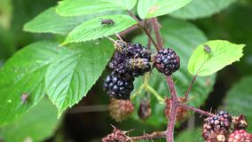 Wespen, die Brombeeren essen stock video
