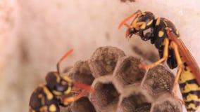 Wespen die voor hun nesten geven stock footage