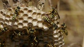 Wespen in het nest stock videobeelden