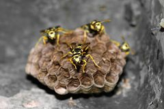 Wespen im Nest Stockfoto