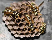 Wespen im Nest Stockbild