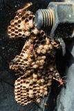 Wespen im Nest Stockfotografie