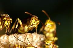 Wespen-Nest Stockfoto