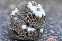 Wespen-Nest mit Larven und Eiern auf dem Grundmakro Lizenzfreies Stockfoto