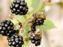 Wespen op Bessen Stock Fotografie