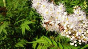 Wespen op een bloem Stock Afbeeldingen