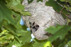 Wespen op nest Stock Foto's