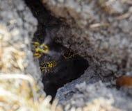 Wespenvlieg in hun nestmink met een espnest ondergronds royalty-vrije stock afbeelding